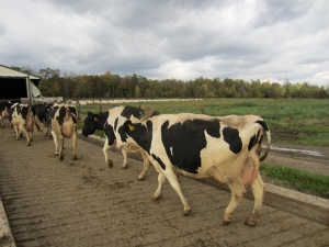 4_Cows walking to parlor